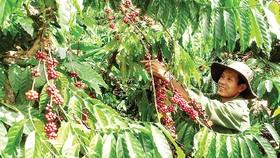 Mô hình tái canh cây cà phê bền vững