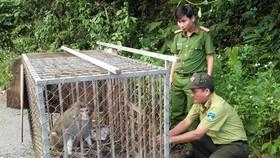 Thả 2 cá thể khỉ về bán đảo Sơn Trà