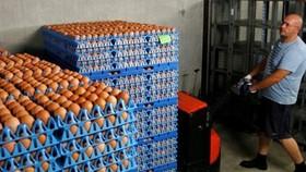 Các công ty Pháp xử lý trứng gà nhập khẩu bị nghi nhiễm độc. Ảnh: REUTERS