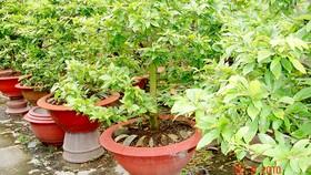 Vườn mai vàng nhà ông Phạm Văn Tư