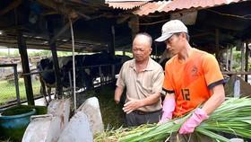 Thương binh Nguyễn Văn Nù (ngụ huyện Củ Chi, TPHCM) hướng dẫn con trai sơ chế cỏ  cho đàn bò sữa                . Ảnh: VIỆT DŨNG