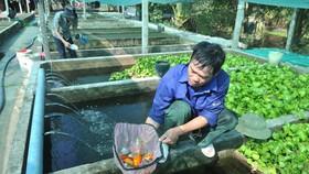 Nuôi cá cảnh kinh doanh tại một hộ ở huyện Bình Chánh (TPHCM). Ảnh: CAO THĂNG