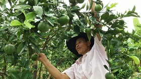 Vườn cam đặc sản của Chủ nhiệm HTX Minh Thành Nguyễn Mạnh Huỳnh  cho thu nhập tới 200 triệu đồng/ha/năm