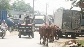 Trên đường liên phường quận Bình Tân, đàn bò thả rông  đi nghênh ngang trên đường