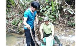 Một đầu bếp giao nộp trăn gấm 17kg để thả về rừng