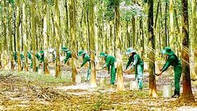 Công nhân cao su thu hoạch mủ