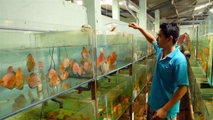 A man takes care of ornamental fish at Saigon Aquarium Corporation in HCM City (Photo: VNA)