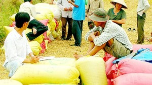 Traders buy rice in Mekong Delta (Photo: SGGP)