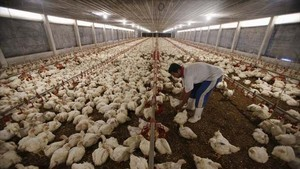 Indonesia works to prevent bird flu spreading from Malaysia