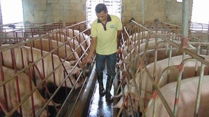 HCMC focuses on safe pig breeding chain
