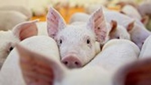 Vietnam announces African swine fever outbreaks