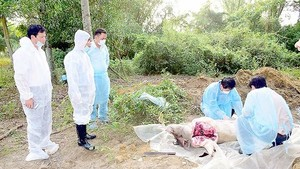 Scourge of African Swine Fever investigated