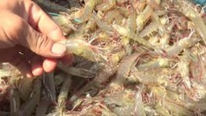 Shrimp exports reach $1.93 billion in first eight months of 2019