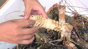 富安省的龍蝦死於黑腮病。(圖源:民智)
