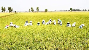 Winter-spring rice crop faces poor consumption