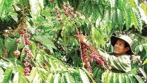 A farmer harvests coffee beans