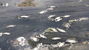 Dead fish floating on To Lich river