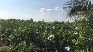 A guava field in Can Tho (Photo: KK)