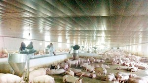 ​ Pig supply drop has highly increased prices but still ensured domestic consumption demand