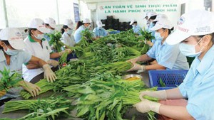 Vegetable production under VietGAP quality standards for export to Europe at Phuoc An cooperative, Binh Chanh district, HCMC (Photo: SGGP)