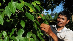 Pepper is one of Vietnamese products having many export opportunities to South Korea (Photo: SGGP)