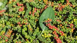 富國島胡椒每公斤僅為6萬元。(示意圖源:互聯網)