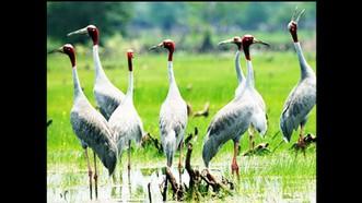 Chỉ còn 11 sếu đầu đỏ về Vườn quốc gia Tràm Chim