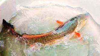 """Bắt được cá """"lạ"""" nghi cá sủ vàng đẹp như tranh vẽ"""