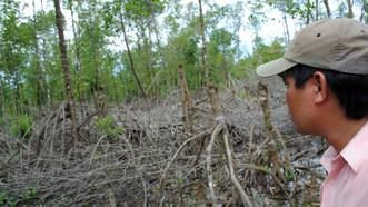 Tại VQG Mũi Cà Mau có thời kỳ quản lý lỏng lẻo để xảy ra tình trạng phá rừng