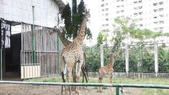 未滿兩個月的小長頸鹿寶寶(右)在父母身邊玩耍。(圖源:互聯網)