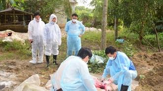 Xuất hiện ổ dịch tả heo Châu Phi tại Khu nghỉ dưỡng suối khoáng nóng Alba Thanh Tân