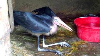Bước đầu nhận định cá thể này có thể là chim Già Đẫy