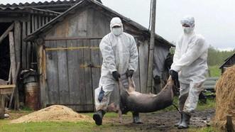Tiêu hủy heo bị dịch tả châu Phi ở Ghana