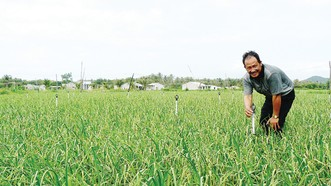 Những ruộng tỏi xanh tốt trên đất Ninh Phước