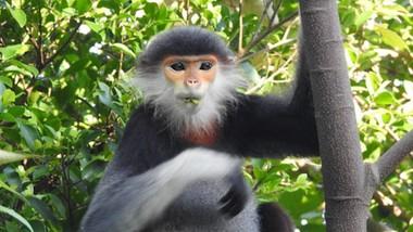 Ghi nhận 8 loài linh trưởng nguy cấp quý hiếm tại Vườn Quốc gia Vũ Quang