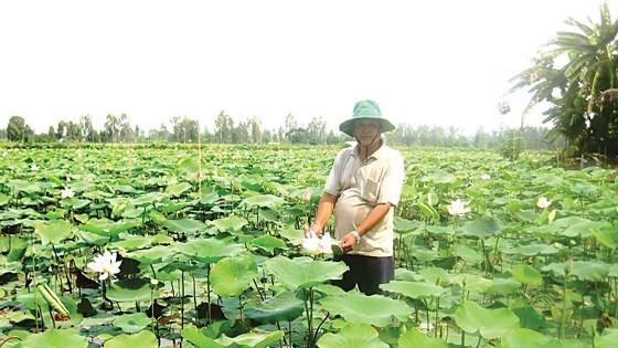 Local farmers plant lotus at rice field on the flood season