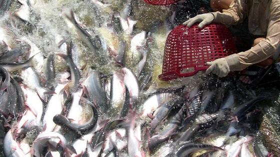Giá cá tra ĐBSCL tăng cao kỷ lục