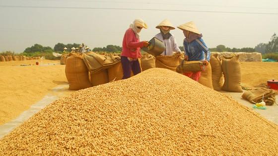 Tạm trữ lúa gạo chỉ là giải pháp tình thế