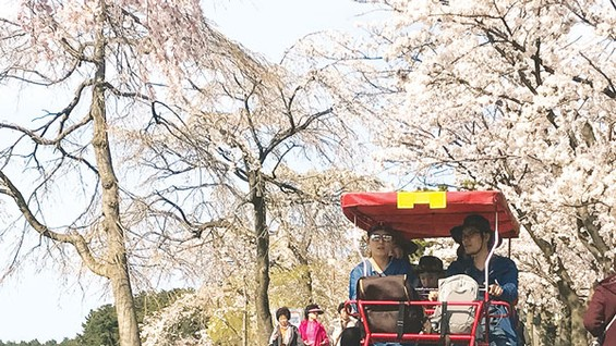 Each tandem bicycle costs VND 200,000- 500,000 for rent to enjoy cheery blossom around GyeongPo Lake