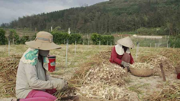 Tồn đọng hơn 280 tấn tỏi Lý Sơn, nông dân gặp khó