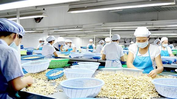 Phân loại hạt điều tại một công ty ở Bình Phước