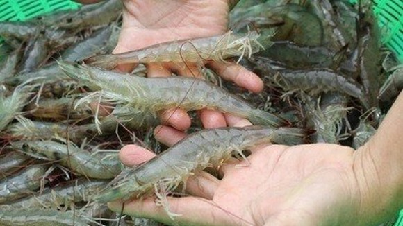 Vietnam has many opportunities to increase white-leg shrimp exports to the European Union (EU). (Source: vasep.com.vn)