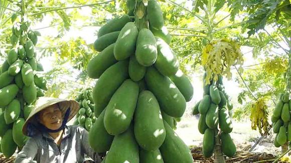 Vườn đu đủ xanh ngắt trĩu trái ở Quảng Ngãi