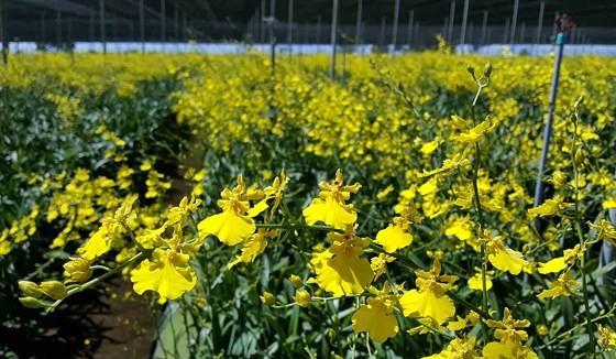 Hoa lan vũ nữ trồng tại Đà Lạt. Ảnh: ĐOÀN KIÊN