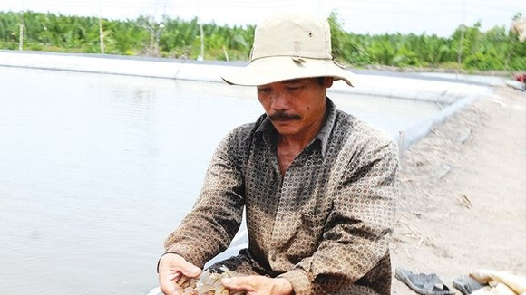 Shrimps, the key export product, have not showed their full potential (Photo:SGGP)