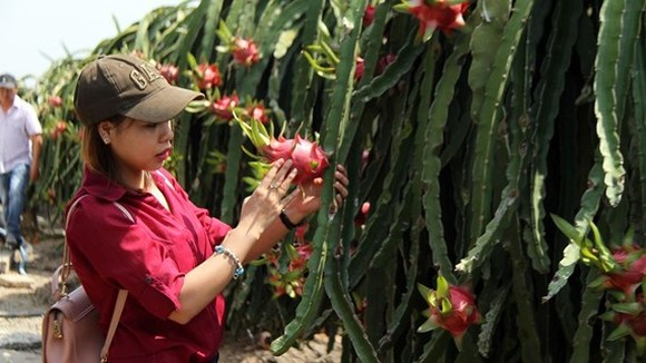 Dragon fruits in Long An