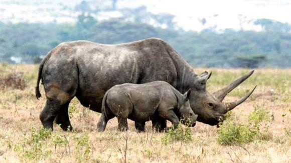 Tê giác đen châu Phi
