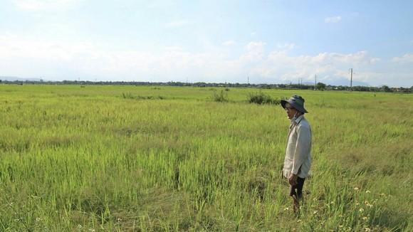 Ông Nguyễn Thanh Cơ buồn rầu nhìn 3 sào ruộng lúa gần 1 tháng tuổi của mình ngả màu vàng úa do thiếu nước. Ảnh: NGỌC PHÚC
