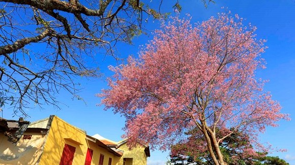 Cherry blossoms are blooming  in Da Lat. (Photo: Sggp)
