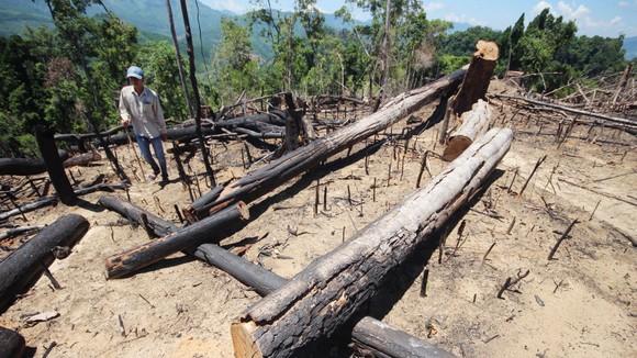Buông lỏng quản lý, cả trăm hecta rừng ở Quảng Nam bị tàn phá